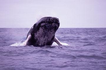ザトウクジラの画像 p1_36