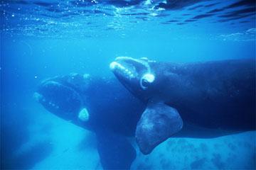 セミクジラの画像 p1_8