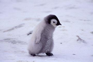コウテイペンギンの画像 p1_7