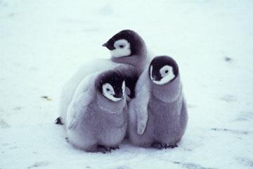 コウテイペンギンの画像 p1_10