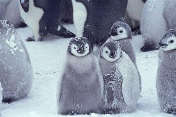 コウテイペンギンの画像 p1_2