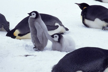 コウテイペンギンの画像 p1_14