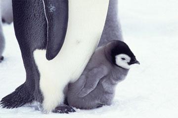 コウテイペンギンの画像 p1_12
