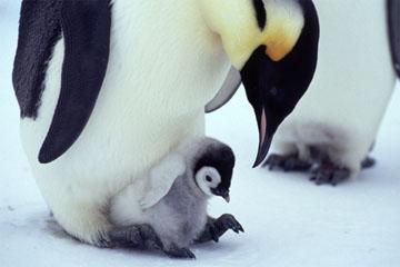 コウテイペンギンの画像 p1_11