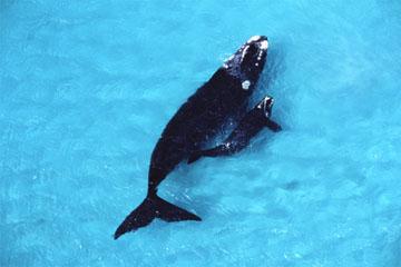 セミクジラの画像 p1_6