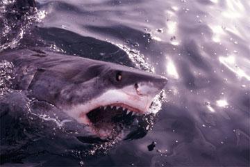 ホホジロザメの画像 p1_13