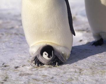 コウテイペンギンの画像 p1_20