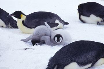 コウテイペンギンの画像 p1_9