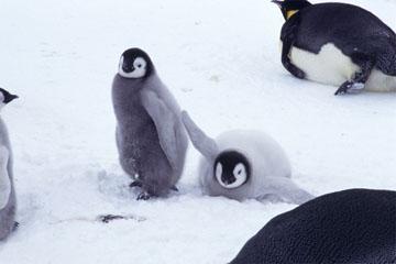 コウテイペンギンの画像 p1_6
