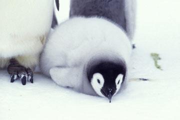 コウテイペンギンの画像 p1_3