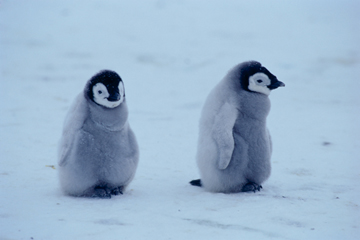 コウテイペンギンの画像 p1_13