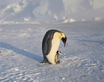 コウテイペンギンの画像 p1_18