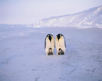 コウテイペンギンの画像 p1_17