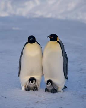 コウテイペンギンの画像 p1_26