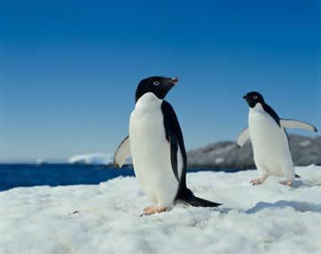 アデリーペンギンの画像 p1_3