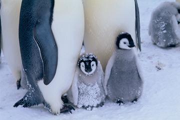 コウテイペンギンの画像 p1_8