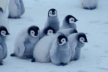 コウテイペンギンの画像 p1_4